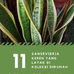 11 Jenis Tanaman Sansevieria Keren